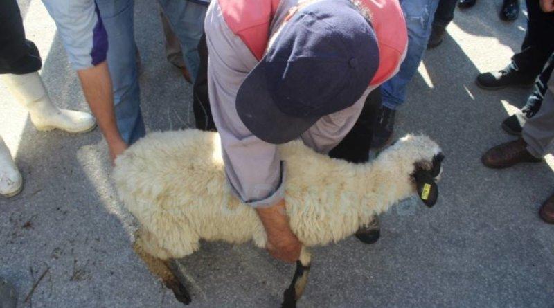 TIKA - dodjela ovaca