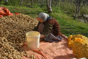 Krompir Osmace